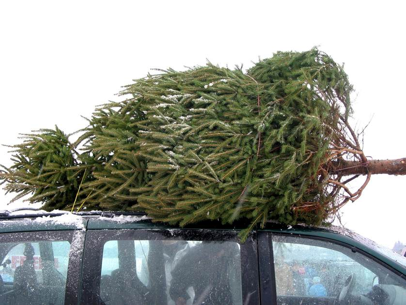 Choinka zabezpieczona do przewozu na dachu auta